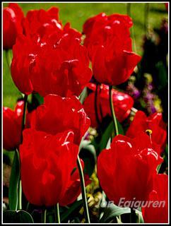 Tulipan gorriak.
