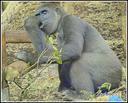 Gorila pentsatzen dago. (Cabarzenon ateratako argazkia)