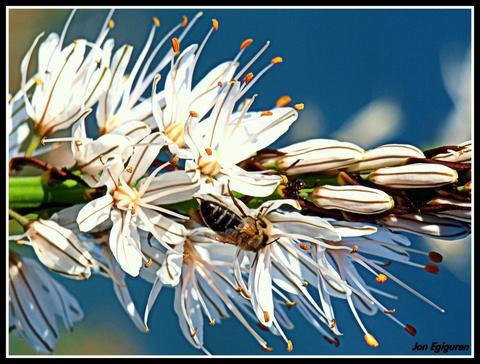 Erlea polena jasotzen.