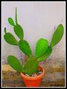 Zz-Kaktusa ere lore polita da.