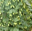 ( Humulus lupulus). Lupuluaren lorea. (Errioxan ateratako argazkia)