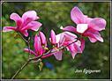 Magnoliak loratu dira eta Udaberrian gaudela erakusten dute.