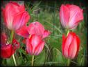 Udaberrian sartu gara eta tulipan batzuk loratu dira. 21/03/2018