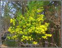 Errege egunerako loratu da mimosa hau,oso goiz dabiltza aurten